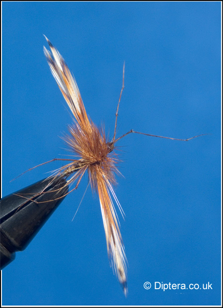 The Daddy Long Legs Cranefly Fly Image